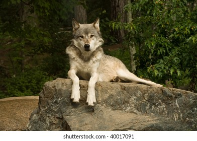 great plains wolf looking directly into the camera while laying on a large flat rock