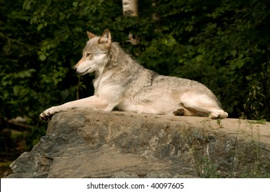 great plains wolf lounging on a large flat rock in the sunshine