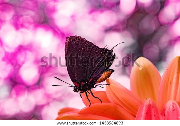 Great purple hair-streak butterfly macro shot