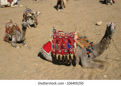 At the great pyramids at Giza, Egypt, camels await riders to take them for a walk in the local desert,