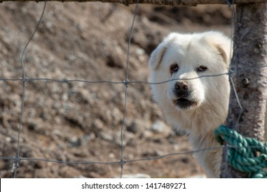 Great Pyrenees dog looks out from behind a wooden post with a wire fence. There's a green rope tied around the post. The majestic mountain dog is large, thickly coated, and immensely powerful.