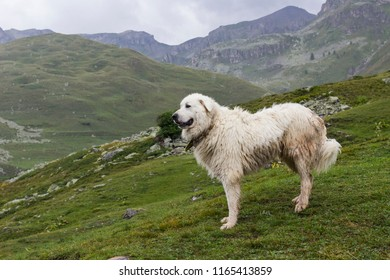 Great pyrenees dog (patou) standing on mountain pastures under summer rainstorm.