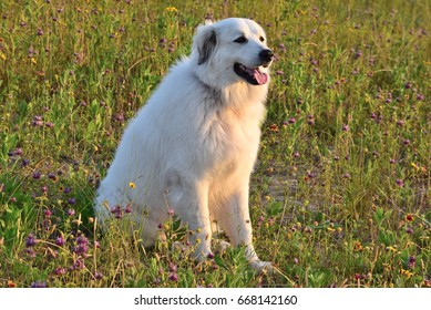 Great pyrenees field