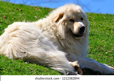 Great Pyrenees, flock guardian, sheep dog in pasture