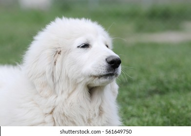 great  pyrenees lying on meadow