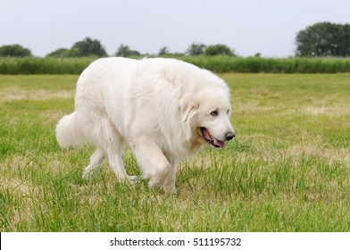 great pyrenees running on meadow