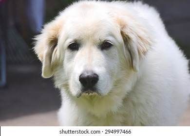 Great Pyrenees white big dog