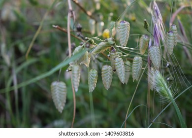 Great quaking grass (Briza maxima)