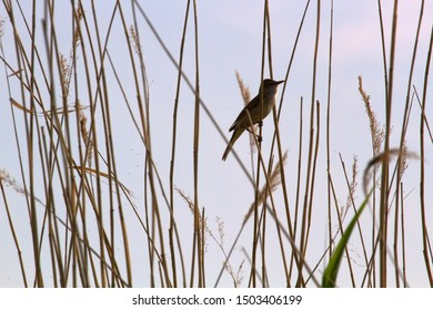The Great Reed Warbler (Acrocephalus arundinaceus) sings on the tops of reeds in order to protect the nesting territory and attract females. Reproductive behavior, mating behavior