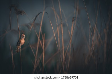 Great reed warbler (Acrocephalus arundinaceus) , sings in a beautiful magical light on the shores of a lake.