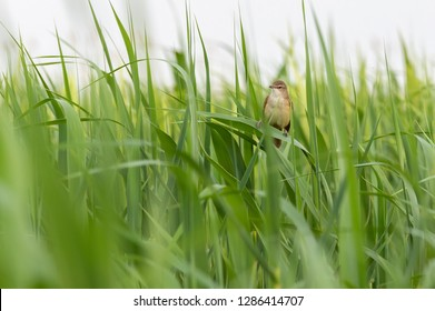 Great reed warbler bird on the reed at springtime