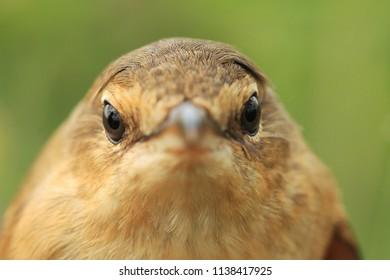 Great reed warbler portrait