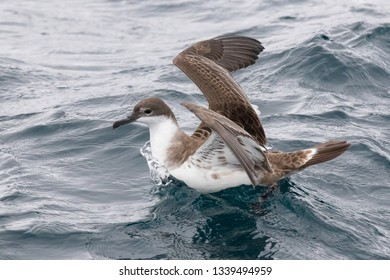Great Shearwater on the watter