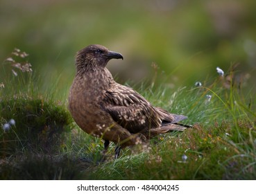 Great Skua, Catharacta skua, highly territorial, large seabird. close up photo of isolated nesting bird on coastal moorland , typical environment of Northern Europe. Summer, Norway.