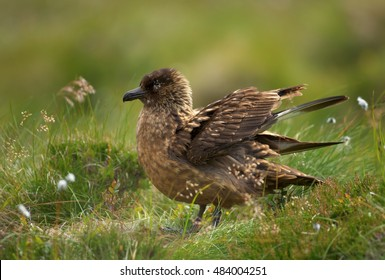 Great Skua, Catharacta skua, highly territorial, large seabird, sitting on its nest in coastal moorland of Northern Europe. Close up photo, action scene. Summer, Runde, Norway.