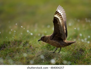 Great Skua, Catharacta skua, highly territorial, large seabird, taking off from its nest in coastal moorland of Northern Europe. Close up photo, action scene. Summer, Runde, Norway.