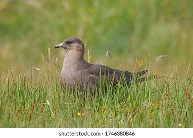Great skua (stercorarius skua) in a meadow in the island of Handa, Scottish Highlands, UK.