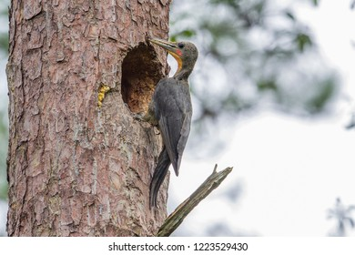 The great slaty woodpecker is a species of bird in the family Picidae. It is the largest species of woodpecker that is certain to exist today. It is a fairly gregarious species.