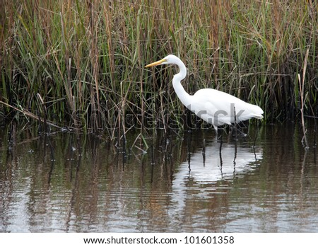 Great Egret On Prowl >> Great Snowy Egret Prowls Food South Stock Photo Edit Now 101601358