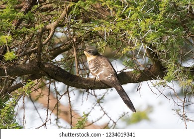 Great Spotted Cuckoo bird perching on branch at Serengeti National Park in Tanzania, East Africa (Clamator glandarius)