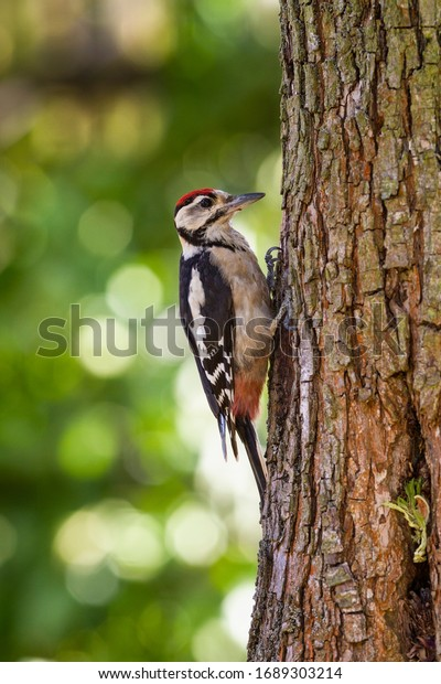 Great Spotted Woodpecker. The bird sitting on the tree.