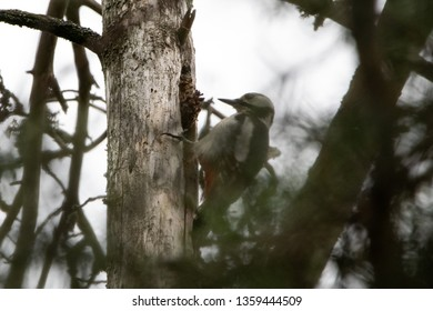 Great spotted woodpecker chopping tree in a forest in Karlstad,Sweden  04 April 2019
