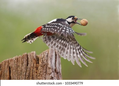 Great spotted woodpecker (Dendrocopos major) with beautiful black, red and white feathers flying over old tree stump with captured walnut in the beak