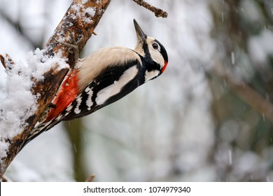 Great spotted woodpecker (Dendrocopos major) in winter while it snows