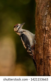 Great Spotted Woodpecker - Dendrocopos major, beautiful colored woodpecker from European forests and woodlands, Hortobagy National Park, Hungary.