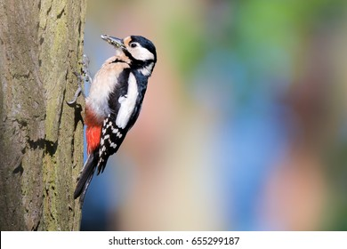 Great spotted woodpecker (Dendrocopos major) female with food in his beak