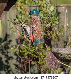 Great spotted woodpecker, English garden bird.