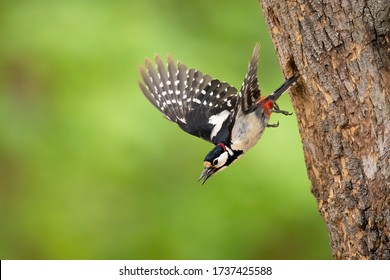 Great Spotted woodpecker flying out of it's nesting cavity, Warsaw Poland