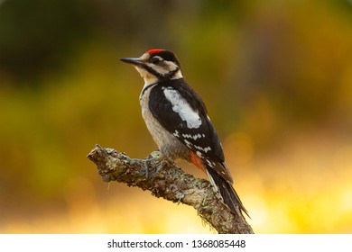Great Spotted Woodpecker in the forest