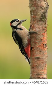 Great Spotted Woodpecker, also known as Greater Spotted Woodpecker or simply Woodpecker, perched on a tree