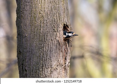Great spotted woodpecker looking out of the nest hole on tree trunk. Female woodpecker (Dendrocopos major) sitting in the nesting cavity on linden.