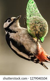 Great spotted woodpecker male, Dendrocopos major, hanging on a tit dumpling, winter feeding, Ostfriesland, Germany, Europe