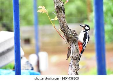 Great spotted woodpecker - medium-sized woodpecker