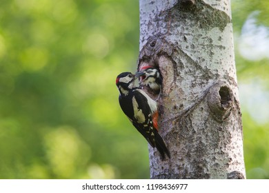 The Great Spotted Woodpecker on the Nest