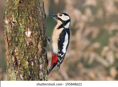 Great spotted woodpecker on a tree. Great spotted woodpecker is from woodpecker family of birds.