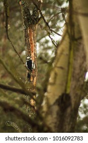 Great spotted woodpecker in Polish woodland