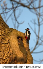 A great spotted woodpecker is sitting on an old and gnarled tree.