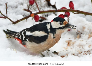great spotted woodpecker and winter