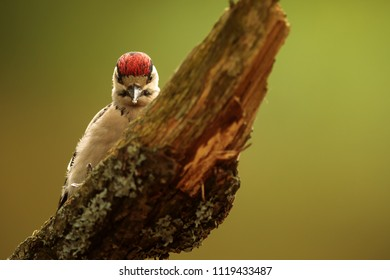 Great spotted woodpecker,Dendrocopos major, in detail when is cutting wood