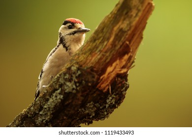 Great spotted woodpecker,Dendrocopos major, is looking for food on the tree
