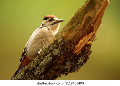 Great spotted woodpecker,Dendrocopos major, is sitting on the dry trunk