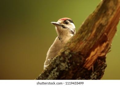Great spotted woodpecker,Dendrocopos major, very nice close up prtrait