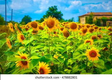 Great sunflower field near farmer house, many big yellow blooming flowers, agricultural landscape, autumn harvest season, beautiful nature of Northern Italy, Europe