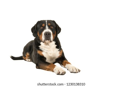 Great swiss mountain dog lying down seen from the front looking up isolated on a white background with copy space