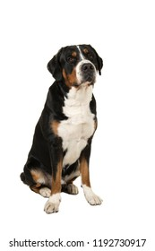 Great swiss mountain dog sitting isolated on a white background