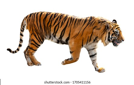 Great tiger . Isolated over white background